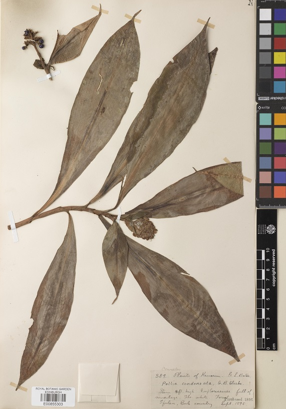 A herbarium specimen is a dried and pressed plant that is mounted on paper alongside a label detailing where and when the plant was collected. Herbaria around the world have millions of these specimens available for scientific study.