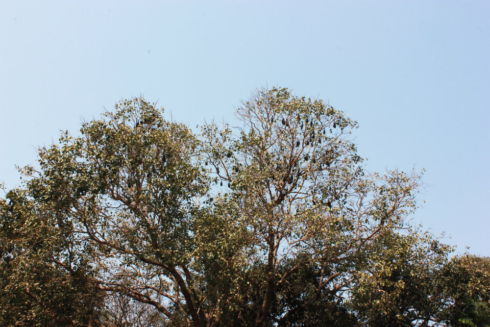 fruitbat tree.jpg