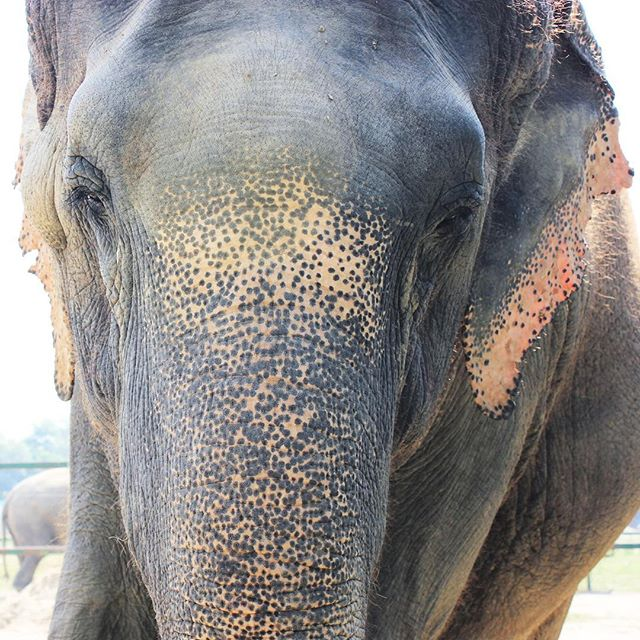 "This speckled beauty is ASHA.  Her name means ""Hope"" in Hindi.  I met this happy girl at the @wildlifesos Elephant Care and Conservation Center just outside Agra, India. Asha was rescued from 46 years in chains. She had been used in circuses and forced to give tourists rides, and eventually she was sold to be a begging elephant on the streets where her awful injuries and abuse only worsened. Luckily Asha was rescued by Wildlife SOS in 2015 and is now doing well and living in peace. She loves sugarcane and lounging around in water pools!  Check out our latest blog post to learn more about the incredible work of @wildlifesos, the rescued elephants and Indian sloth bears near Agra, and some upcoming plans we have to support them! Link in bio 🐘🐻 #PL_ecologies"