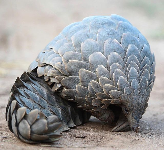 It's #WorldPangolinDay. This extraordinary mammal is shy and gentle. When threatened, pangolins curl up in a tight ball and their keratin scales make them nearly impenetrable to predators. Sadly, their tough scales are no match against human poachers; pangolins are the most trafficked mammal in the world. These beautiful creatures will soon be extinct unless more is done to protect them. . . . . 📷 @jonpwightman  #pangolin #savethepangolin #saveendangeredspecies #worthmorealive #africa #krugernationalpark #wildlife #trafficking #conservation #wildbeauty #natureconservation #africanwildlife #patternsofnature #beautyinnature #travel #wonder #fieldnotes #ecosystems #wilderness #curiosity #adventures #travelogue #lovefortheenvironment #naturelove #protectwildplaces #protectbiodiversity #natureisbeautiful #PL_ecologies #ecologies