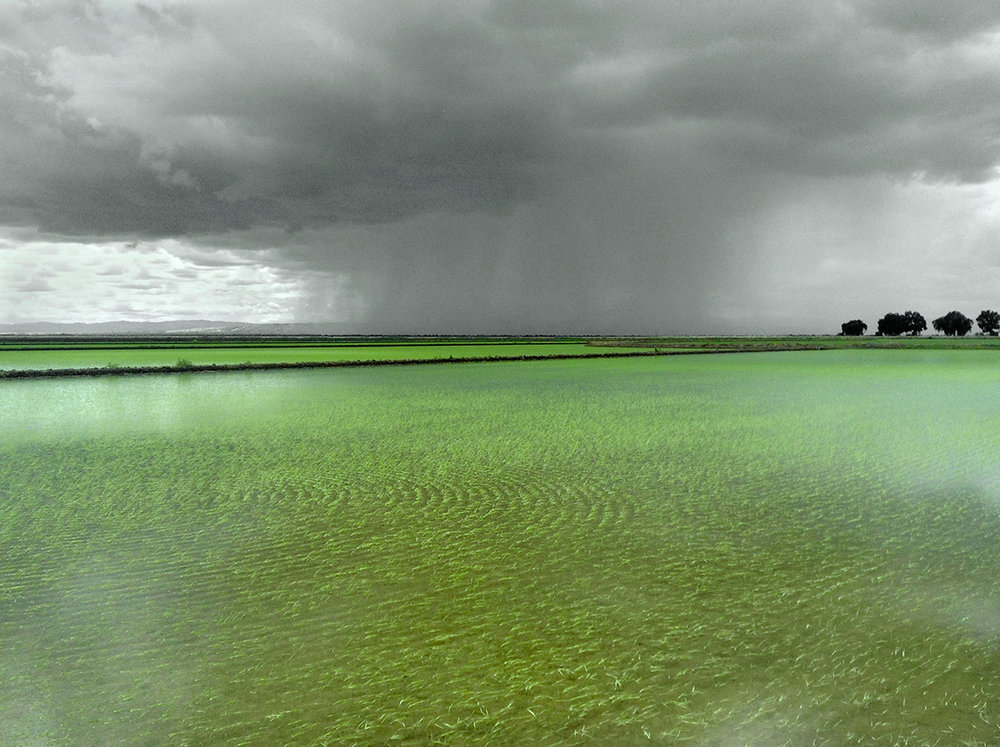 RICE AND RAIN, near Willows