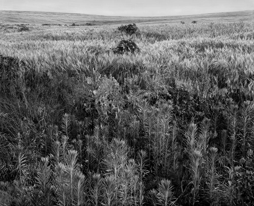 #15-Weednwheat.jpg