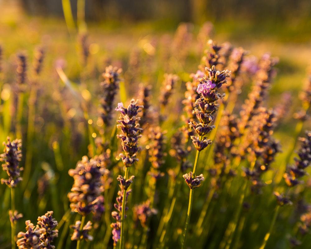 Lavender-00003.jpg