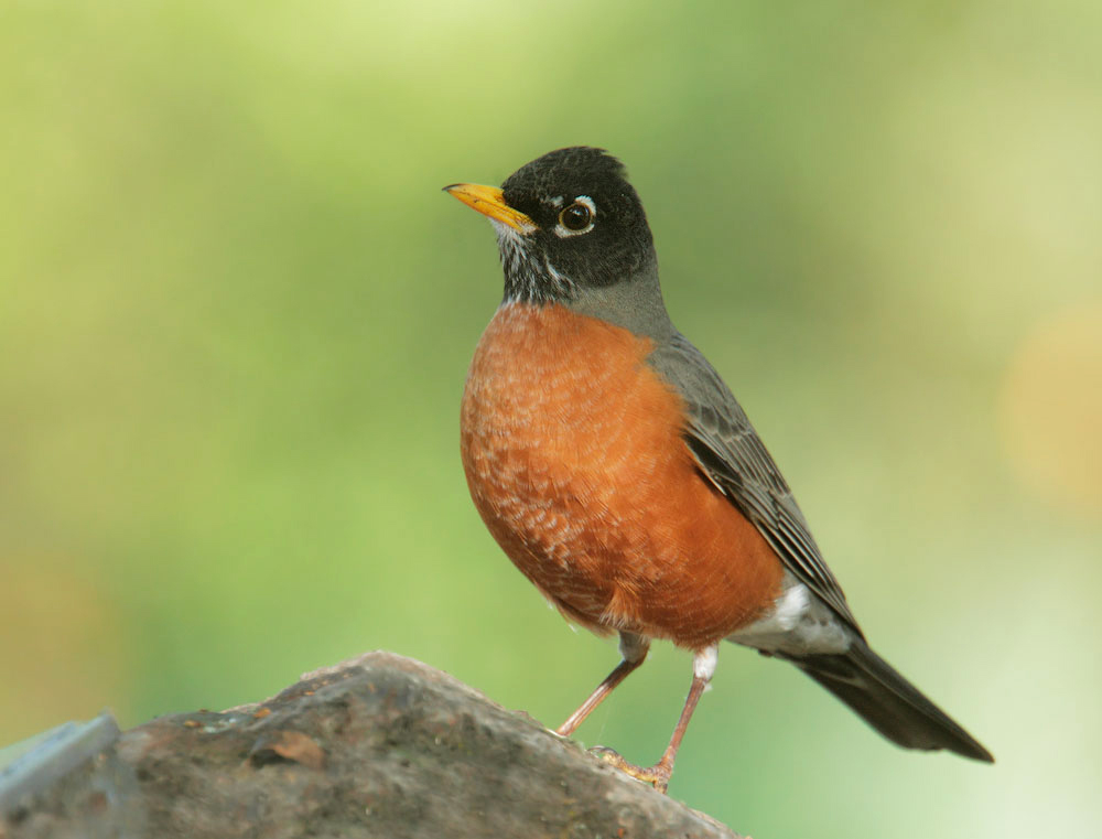 american-robin-tom-grey-large.jpg