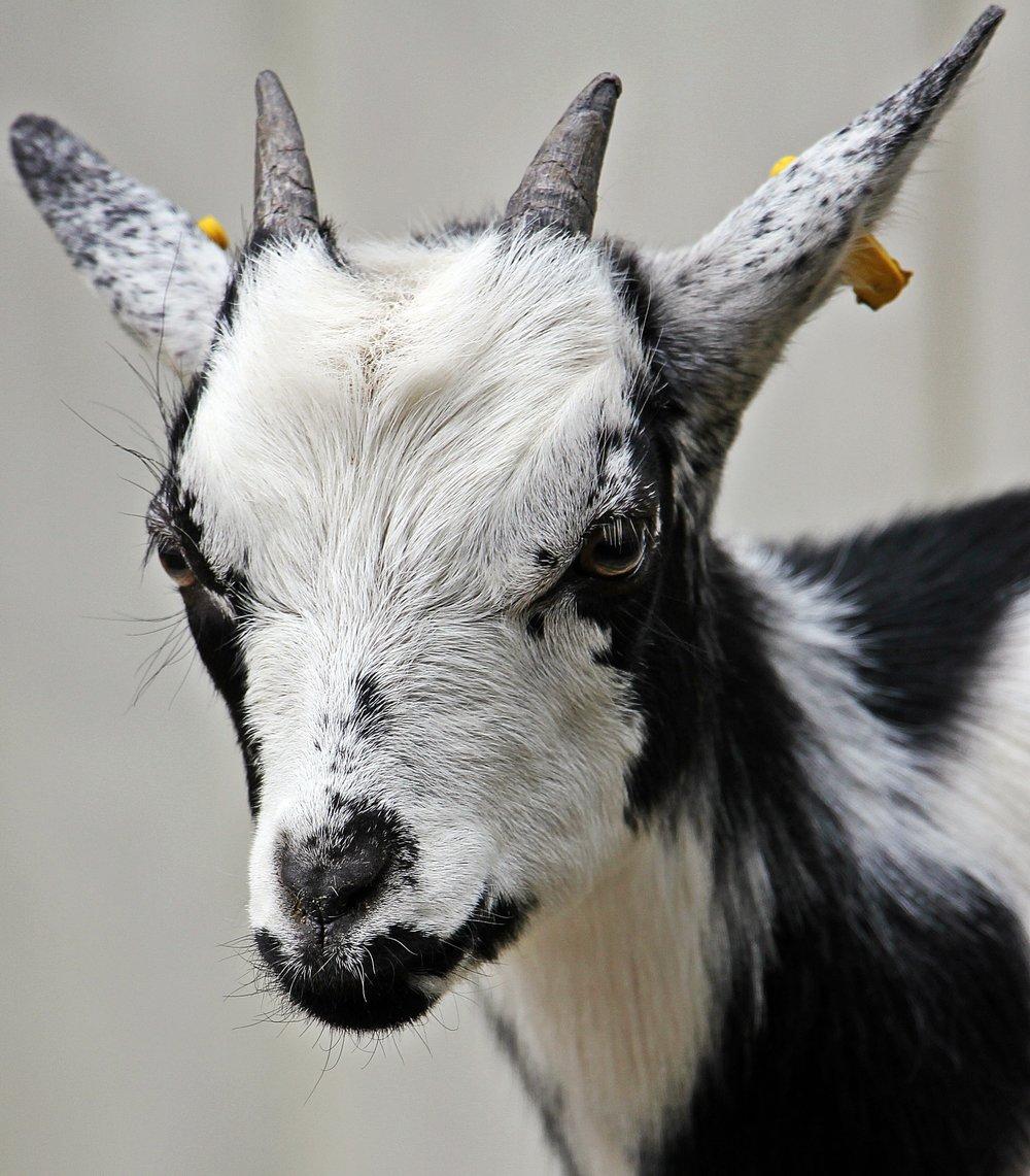 goat-kid-domestic-goat-cute-115017.jpeg