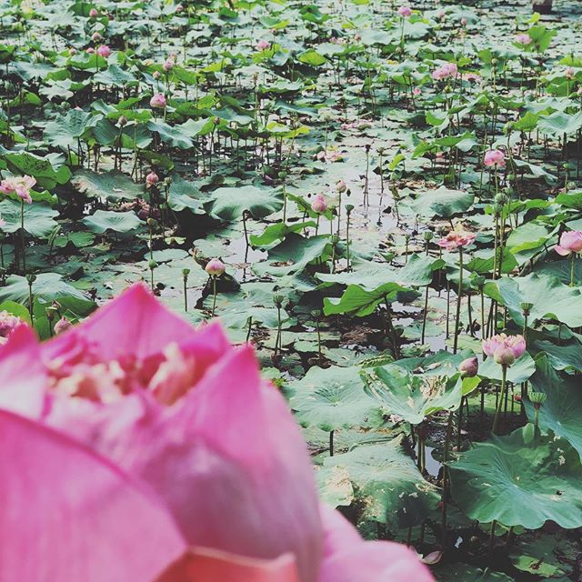 The sacred lotus garden 🌷