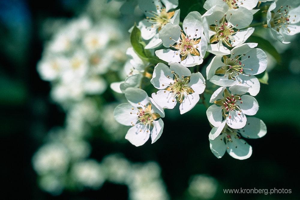 2018-05-13-0408-pear blossoms agfa precisa.jpg