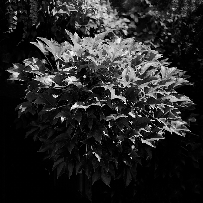2018-08-10-0918-silvermax ivy.jpg
