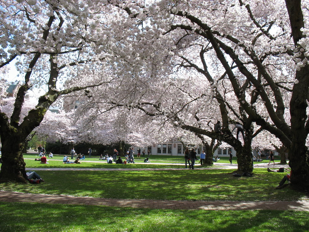 The University of Washington's Quad is one of the most popular places in Seattle to view cherry blossoms. Photo:  D. Guillaime / Wikimedia