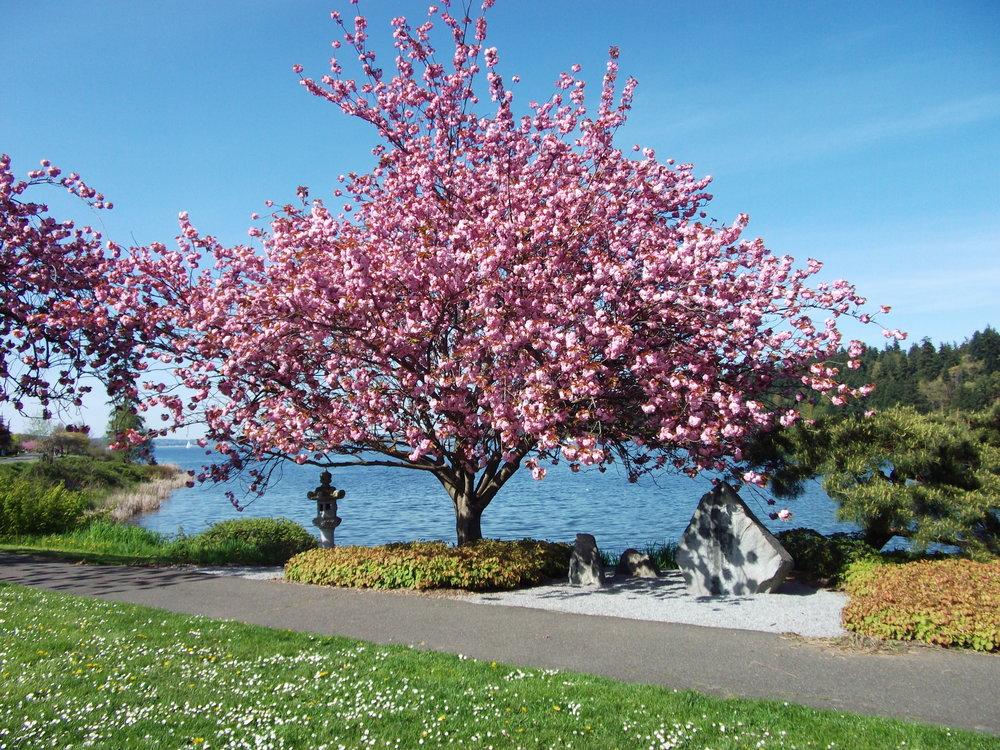 Cherry tree in full bloom in Seward Park. Photo:  Nirvananow / Wikimedia