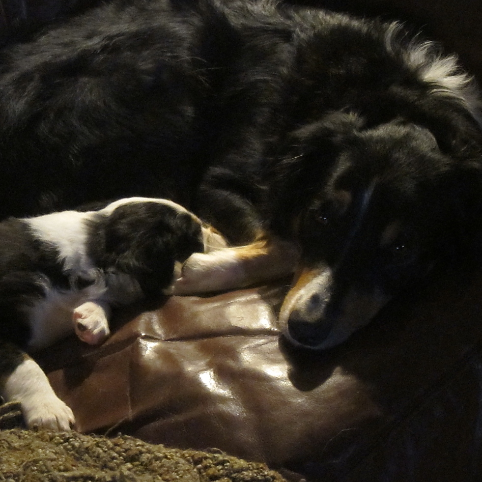 Maisie sharing a moment with a her pup.We think he will have the same beautiful glossy coat as his mum.