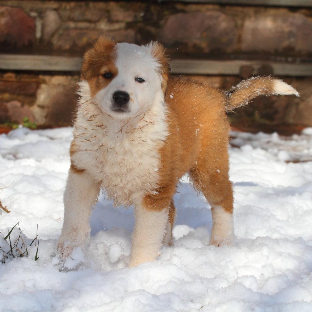 Puppy #6 Sable & White Split Face English Shepherd.JPG