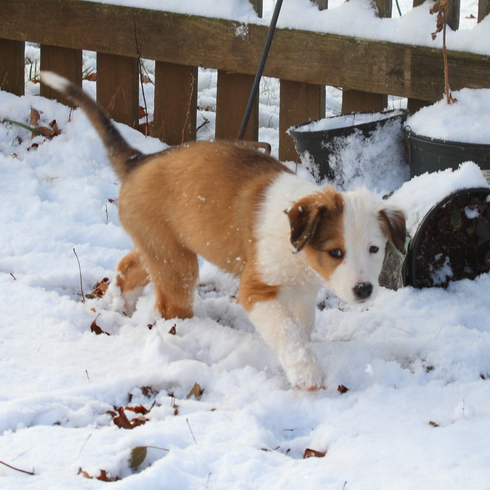 Puppy #8 Sable & White Split Face English Shepherd.JPG