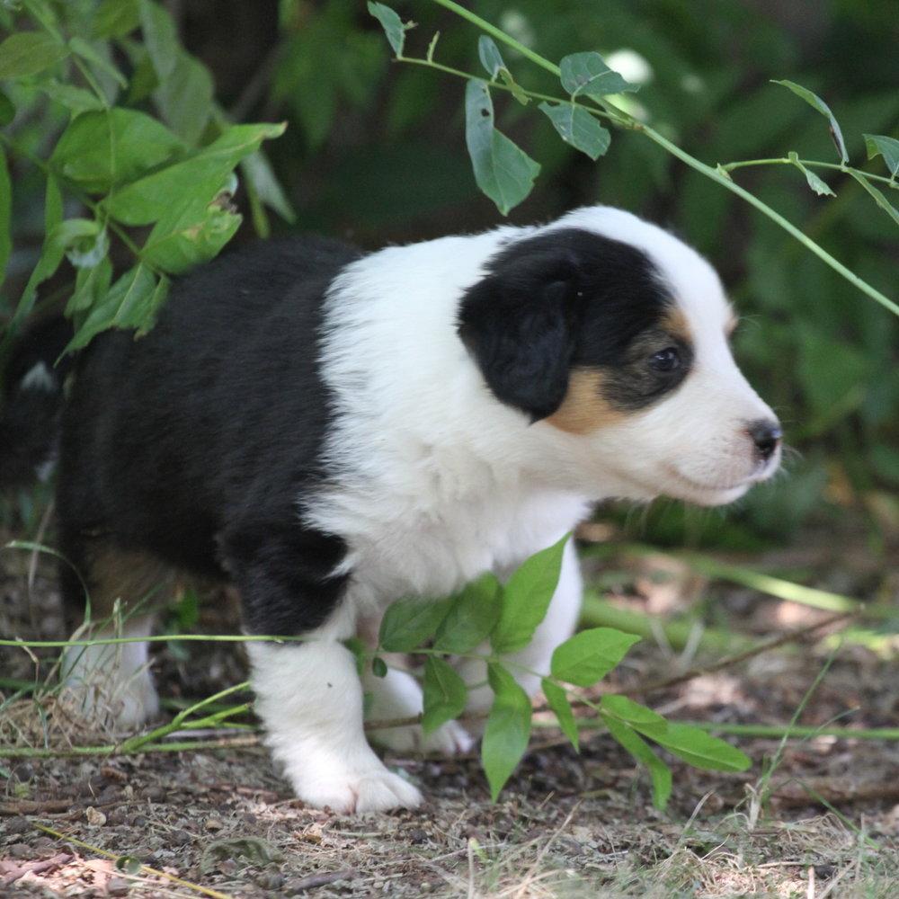 Masie_Puppies13.JPG