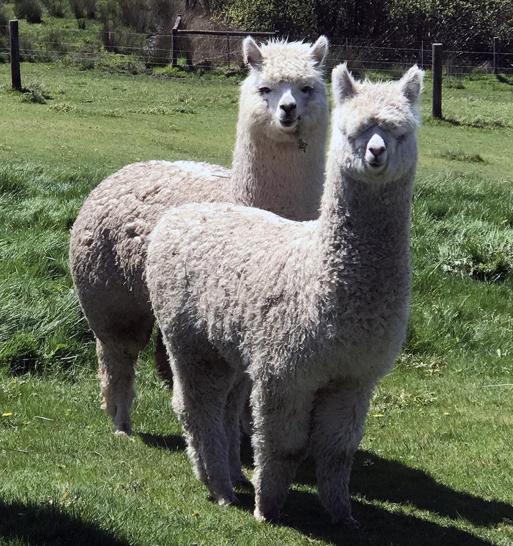 cria baby alpacas.jpg