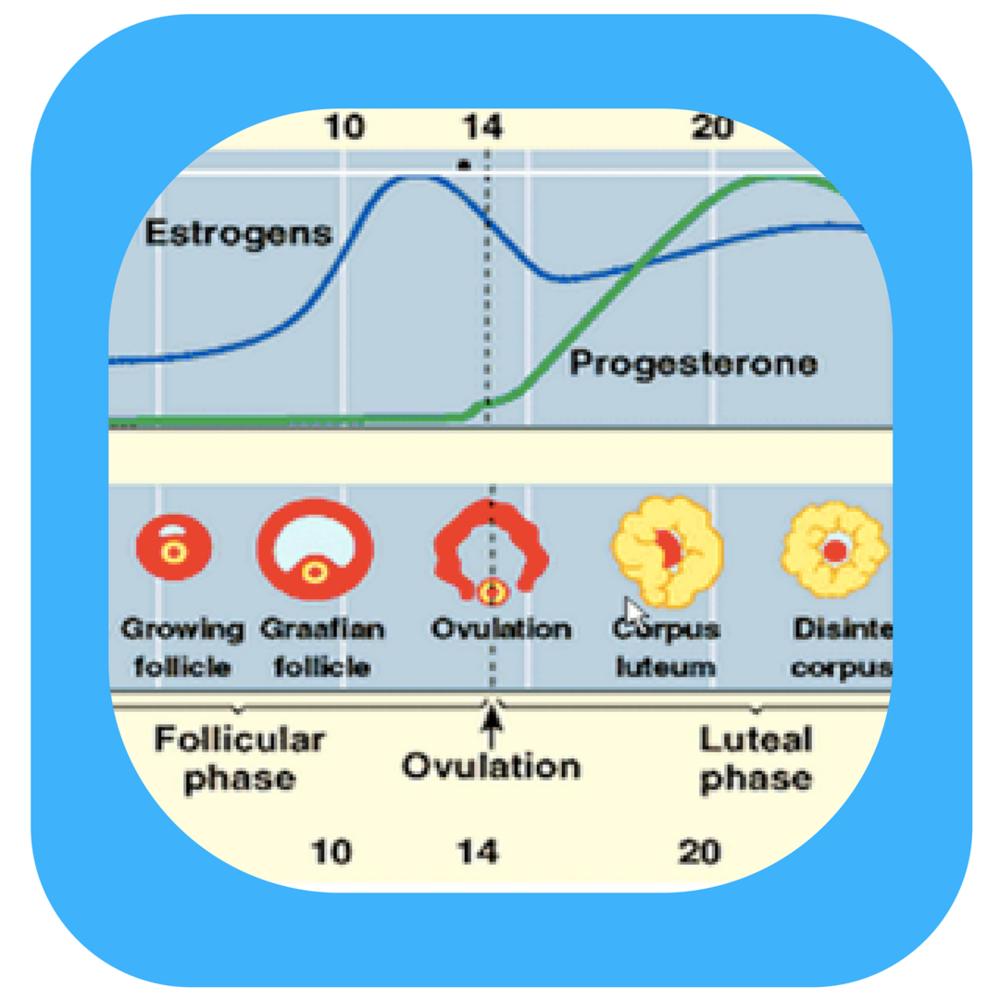 Estrogenvprogest.png