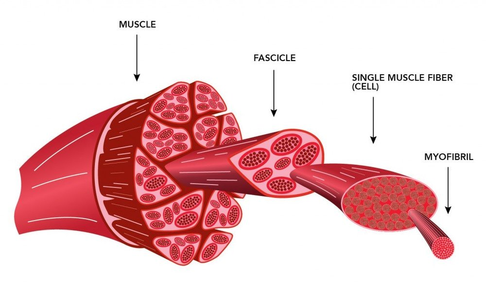 muscle_fiber_exploded_view-1024x600.jpg