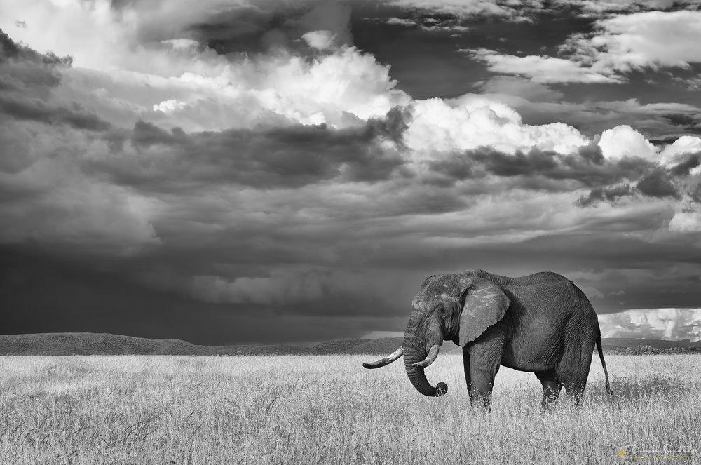 Infrared elephant Serengeti.jpg