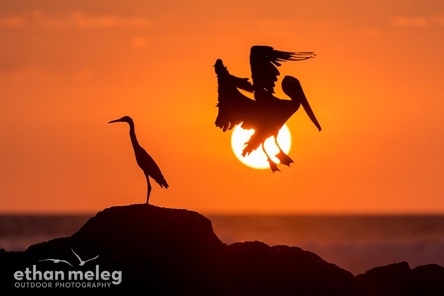 CR_Pelican-Egret-Sunset_EMELEG_DX_4054.jpg