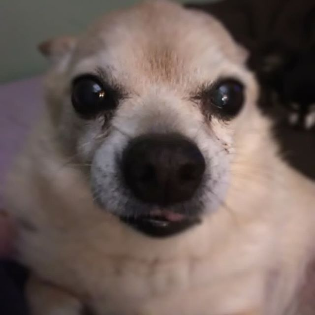 Sad little Taco...his back is hurting more than usual tonight.  #poorbaby #mysweetoldman #chihuahualife #gettingoldsucks #oldchihuahua #sadchihuahua