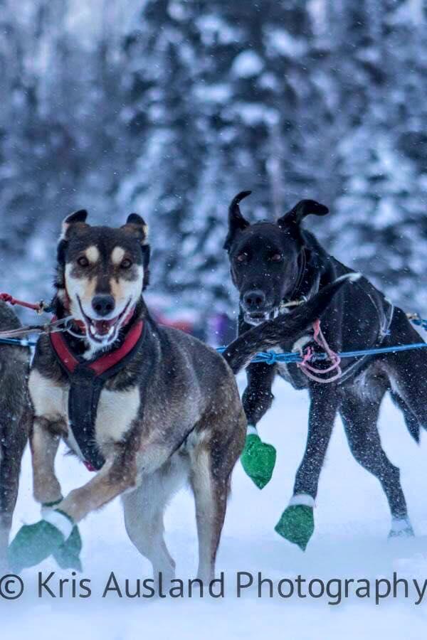 sled dog 2.jpg