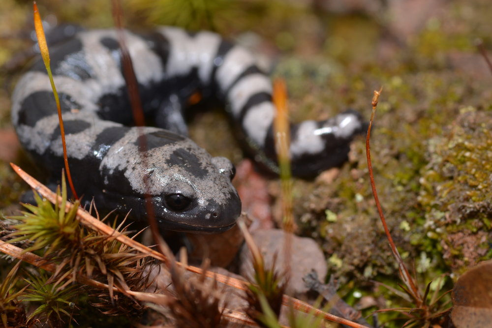 Marbled Salamander - Ambystoma opacum