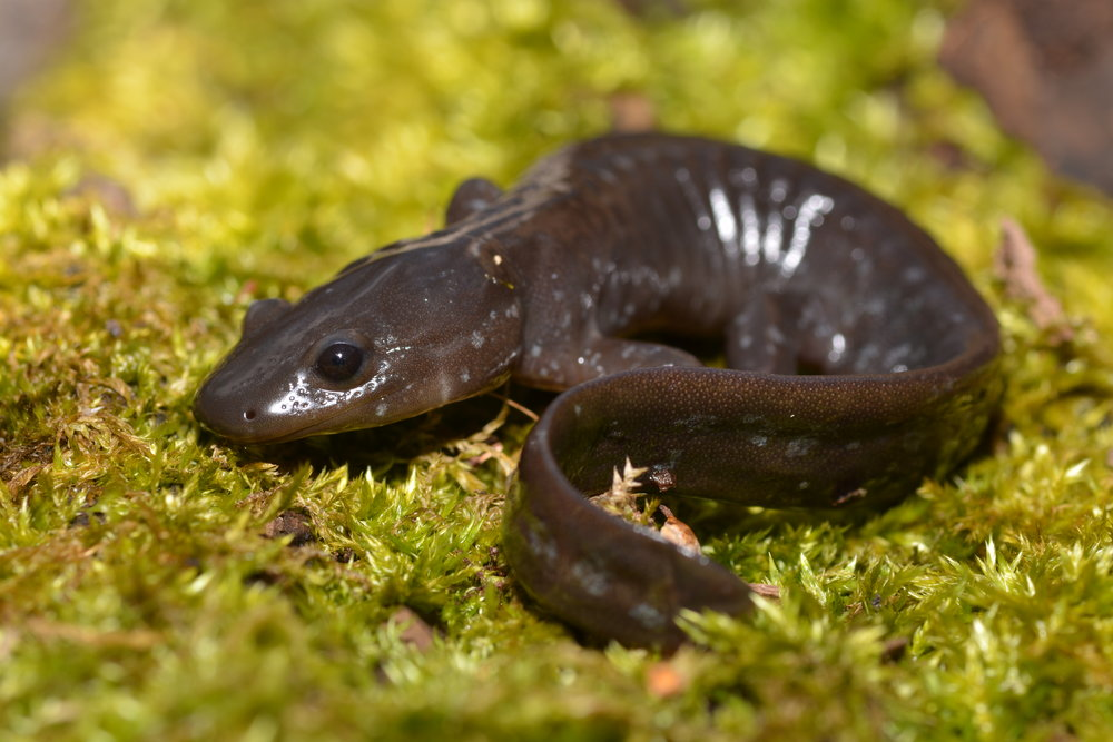 Jefferson Salamander - Ambystoma jeffersonianum