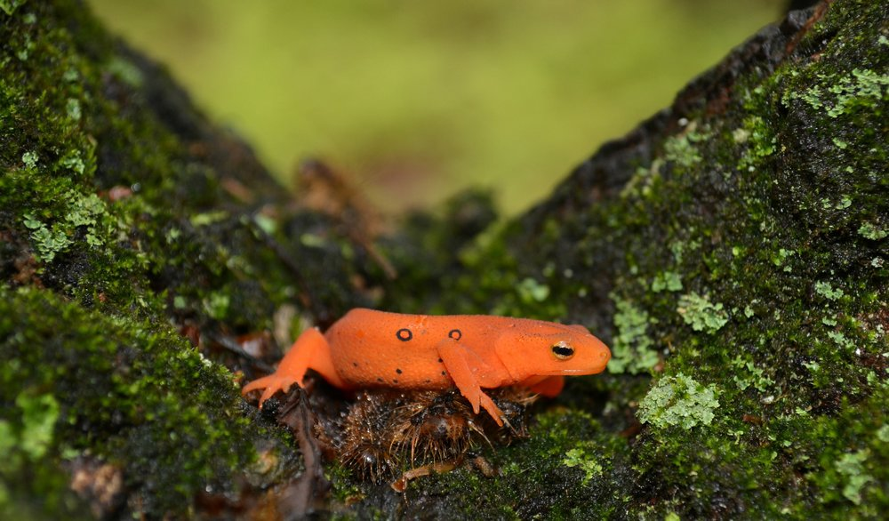 Red Eft - Notopthalmus viridiscens