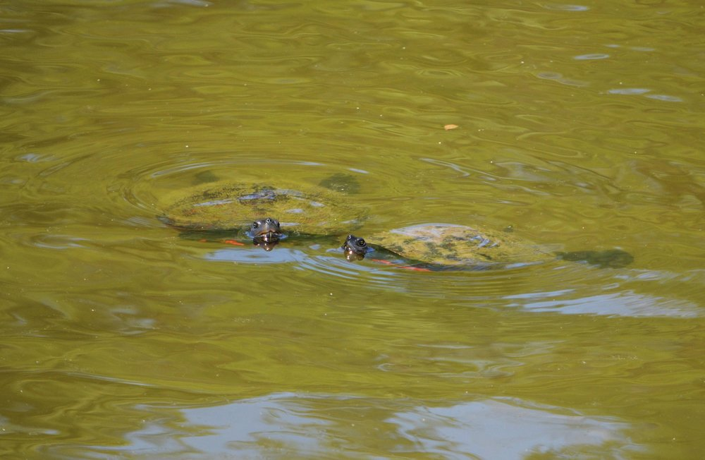 Red-bellied Turtles