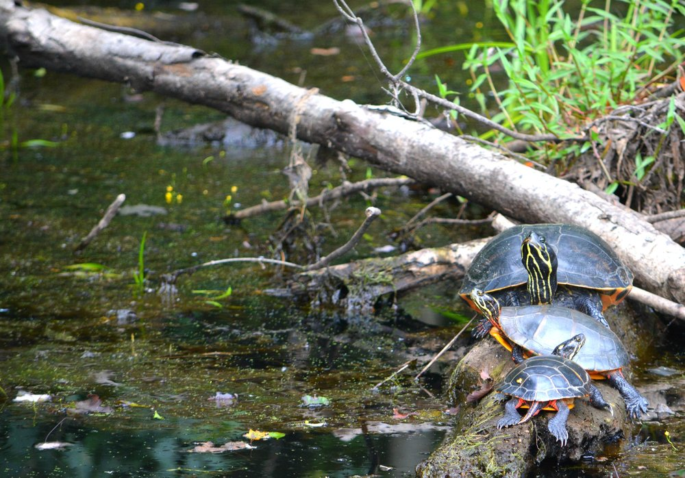 An Assortment of Pond Turtles