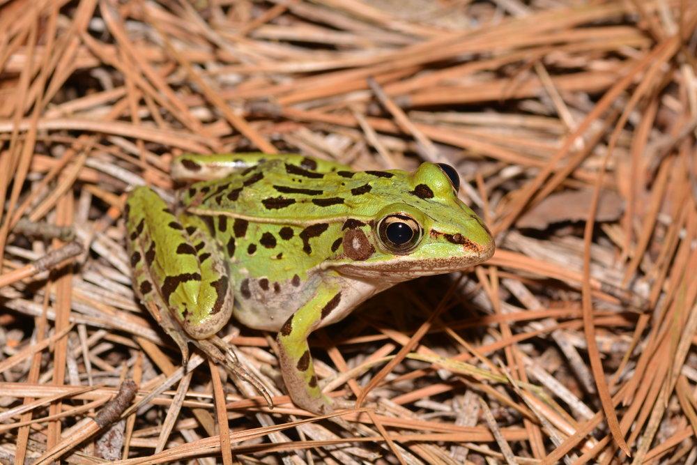 Southern Leopard Frog - Lithobates sphenocephalus