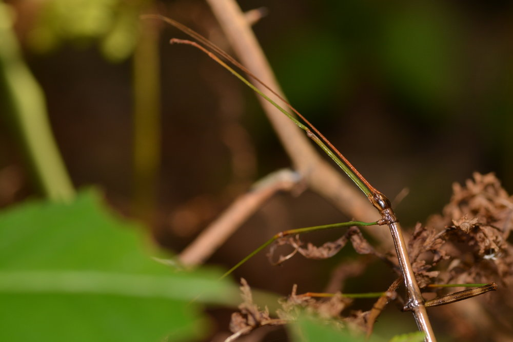 Common Walkingstick - Diapheromera femorata, Order: Phasmida
