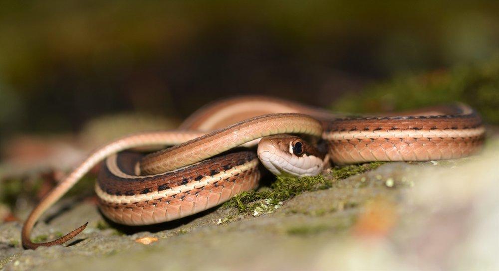 Eastern Ribbon Snake - Thamnophis sauritus