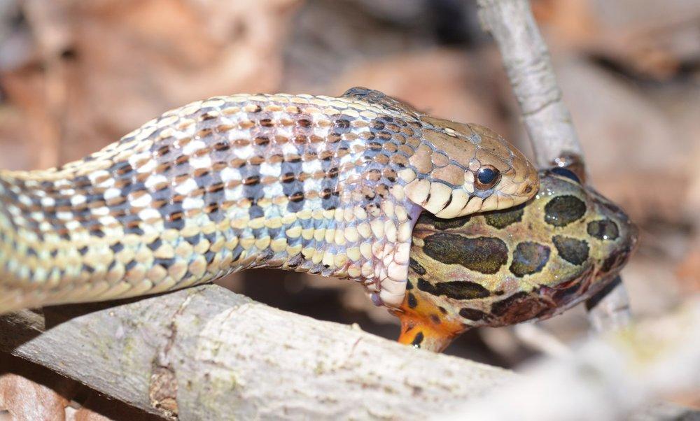 Eastern Garter Snake (and an unfortunate Pickerel Frog) - Thamnophis sirtalis