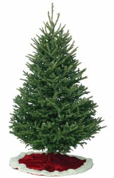 Fraser Fir w: tree cover.jpg