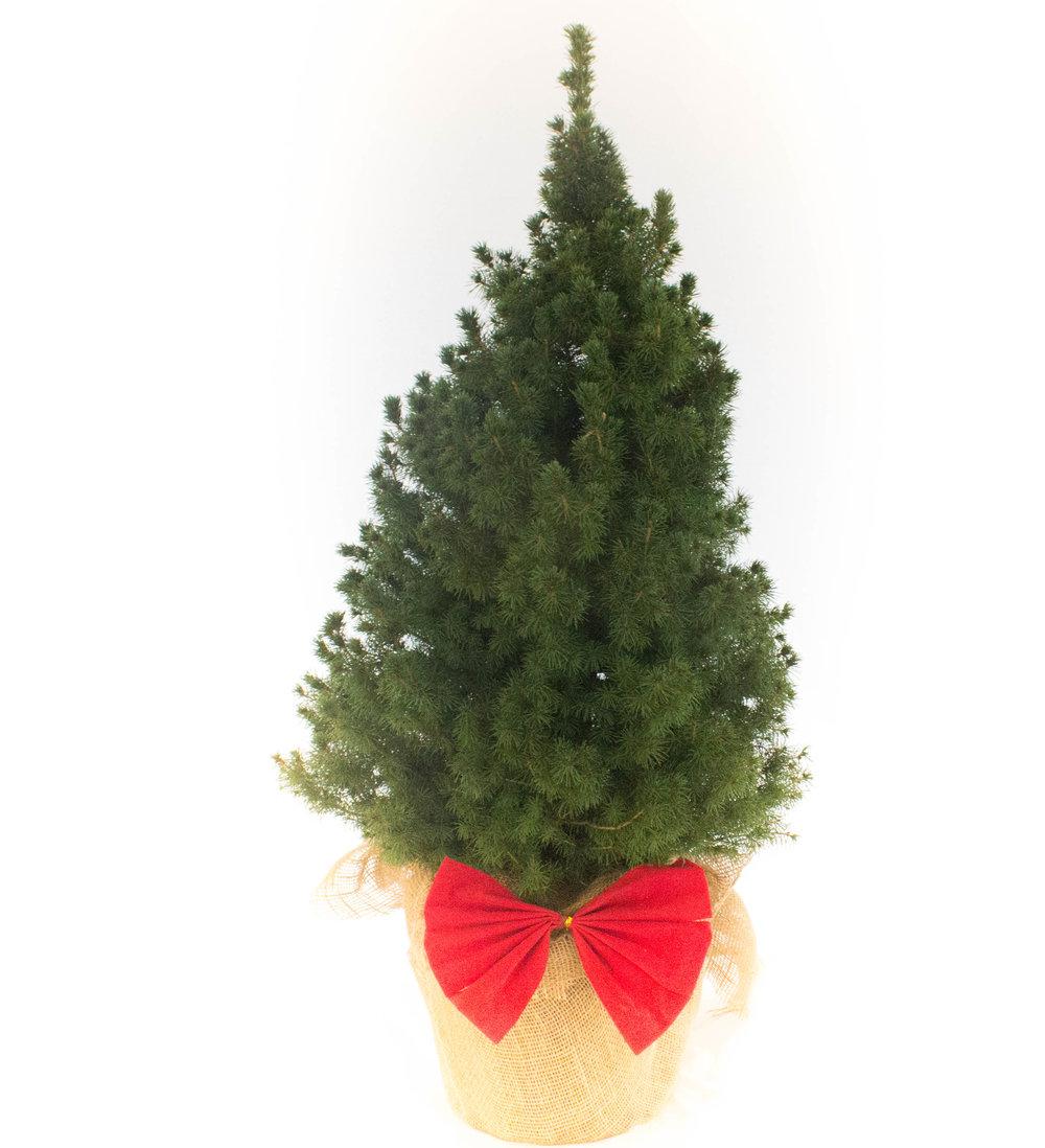Alberta Spruce Big 2.jpg
