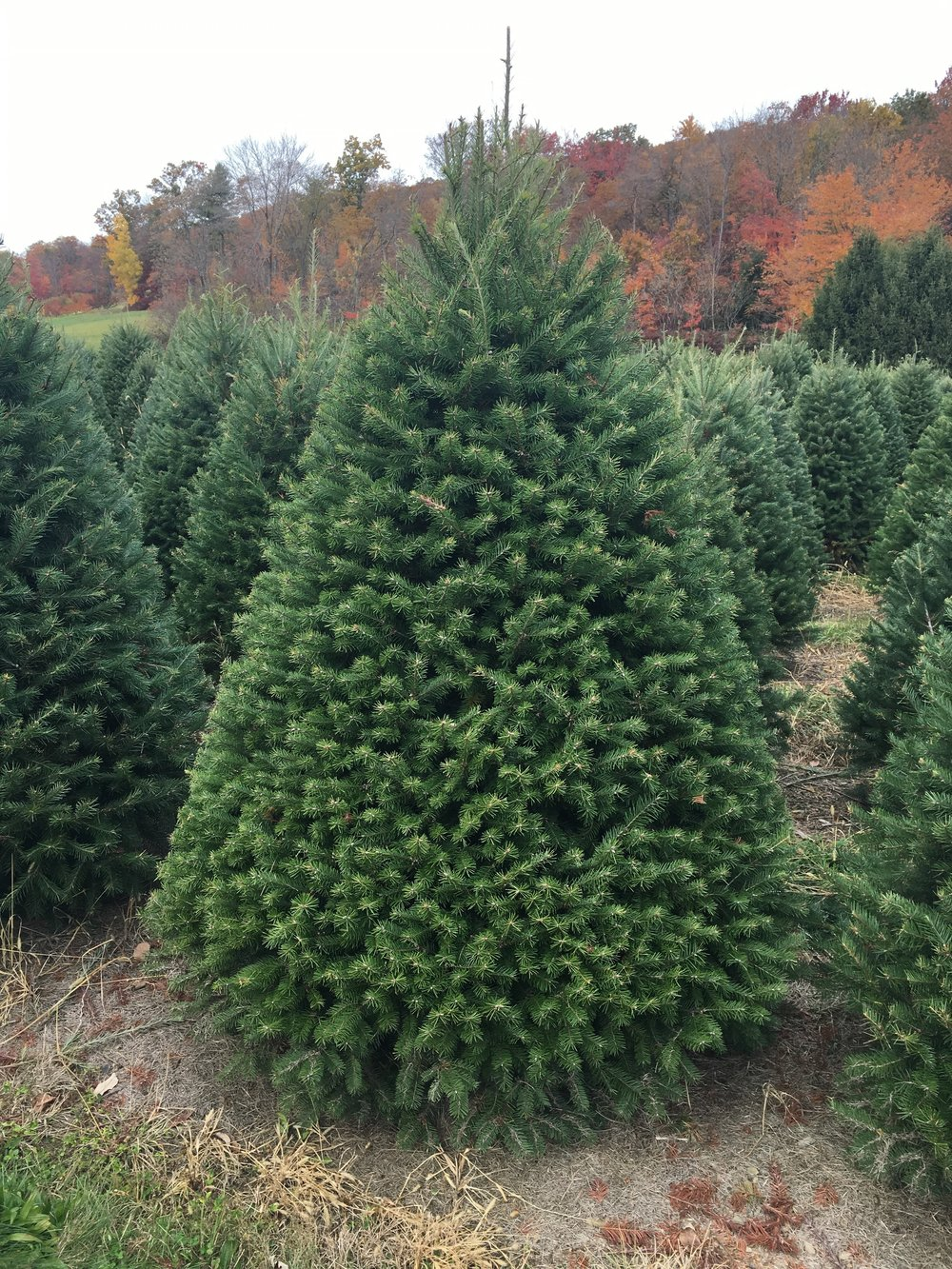 Douglas Fir Tree Delivery -