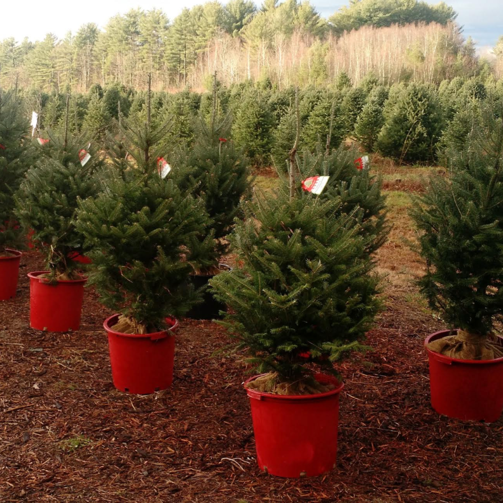 Living Christmas Tree Rental -
