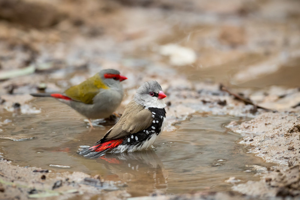 Diamond Firetail_David Stowe-0787.jpg