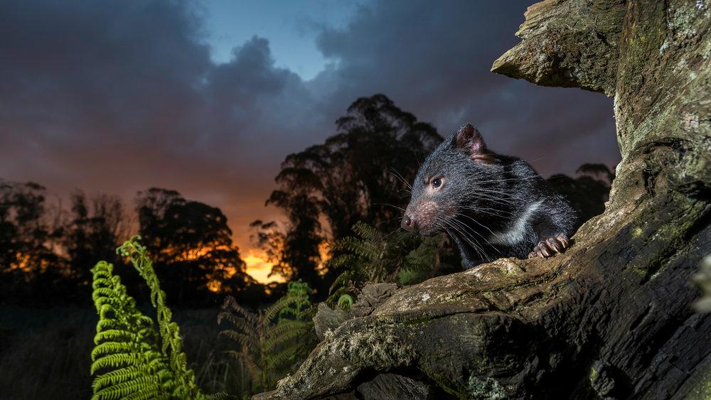 Tasmanian Devil_-6665-2.jpg
