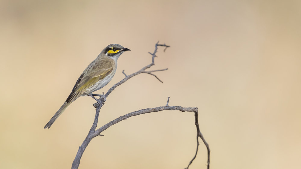 Yellow-faced Honeyeater_David Stowe-4217.jpg