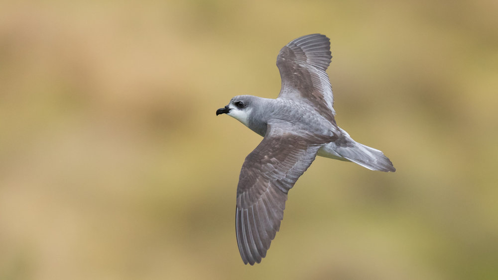 Black-winged Petrel_David Stowe-9559.jpg