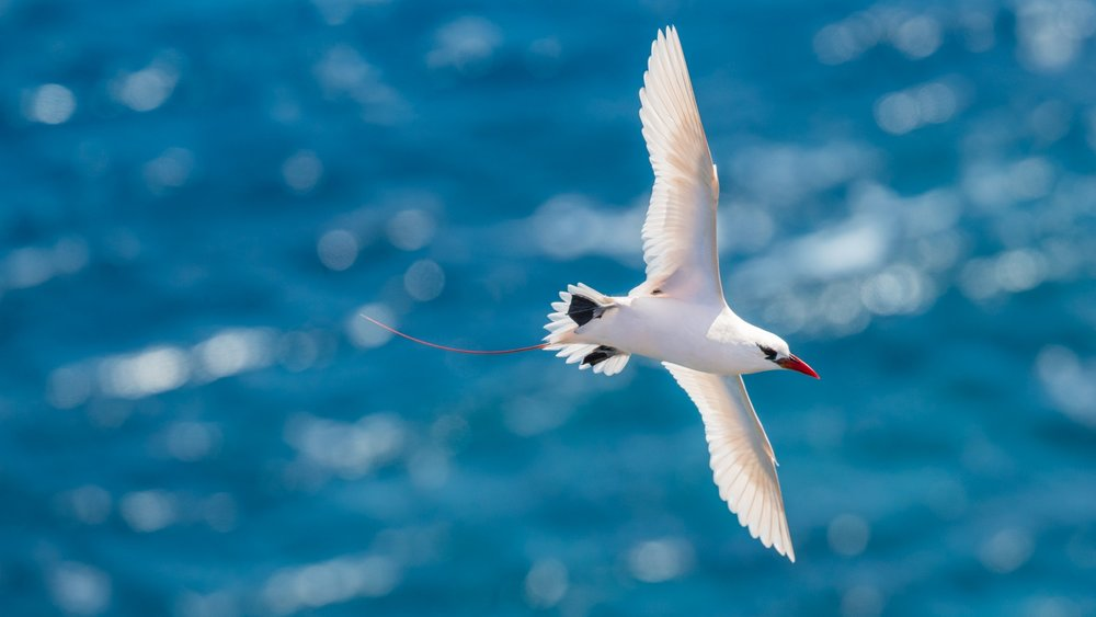 Red-tailed Tropicbird_David Stowe-7990.jpg
