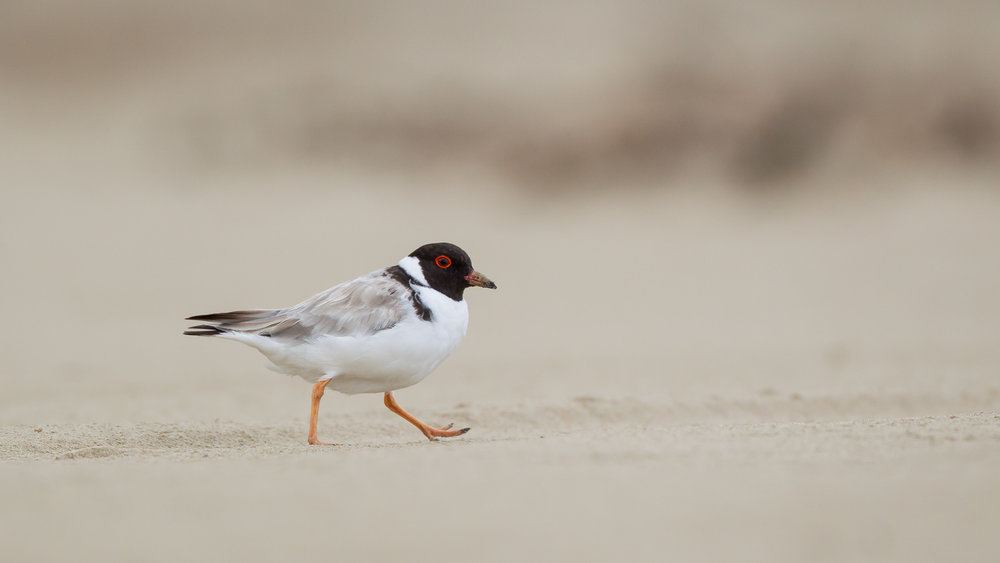 Hooded Plover_David Stowe-7368.jpg