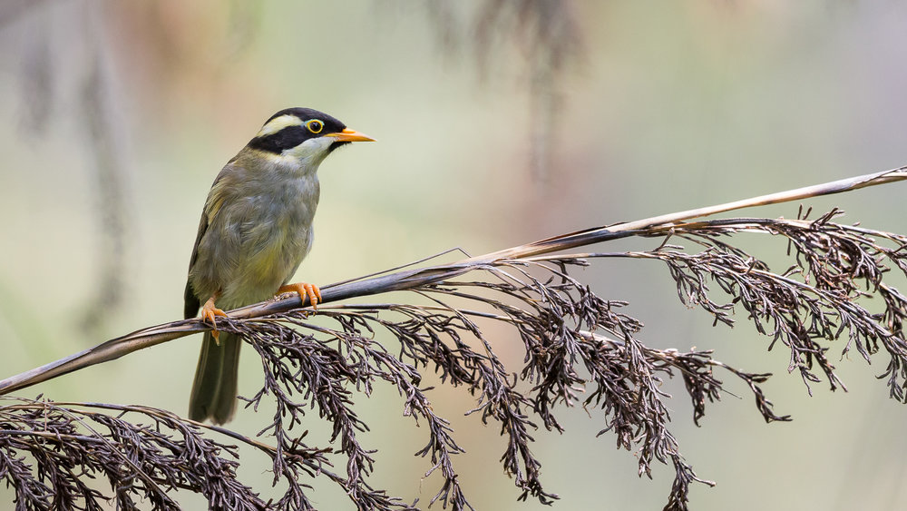 Strong-billed Honeyeater_David Stowe-8970-3.jpg