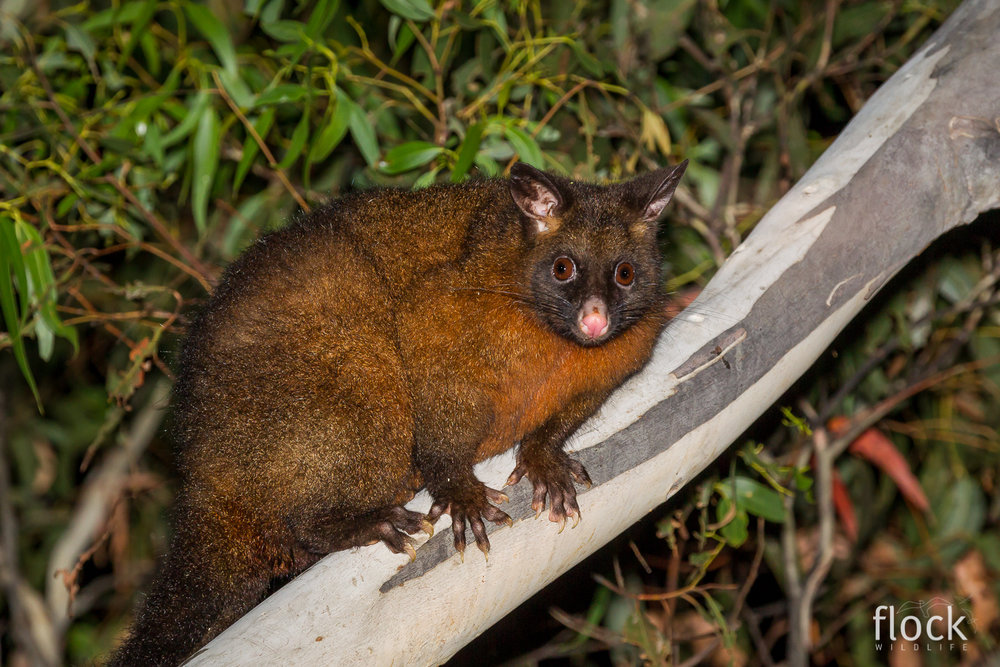 Brush-tailed Possum_David Stowe-7170.jpg