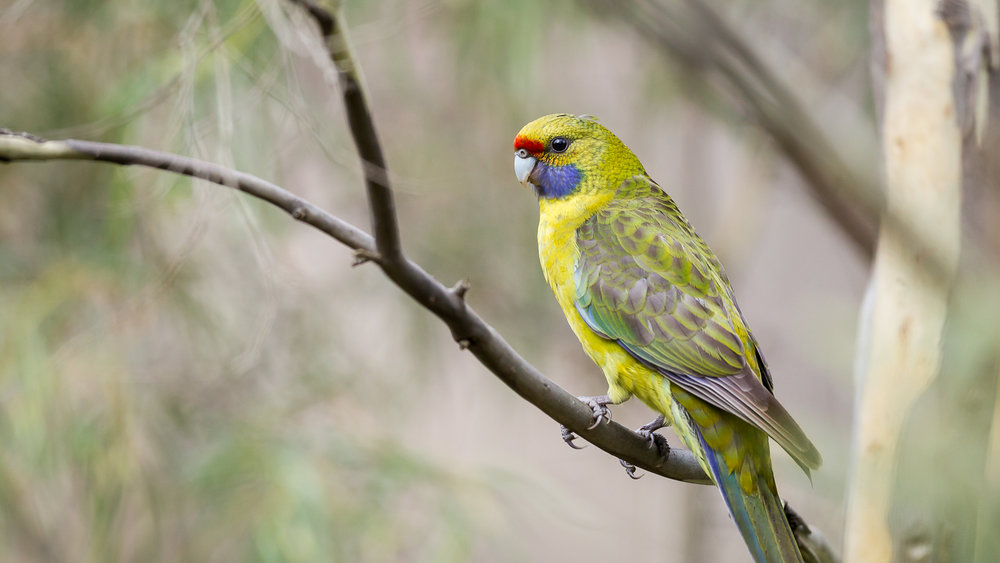 Green Rosella_David Stowe-7111-4.jpg