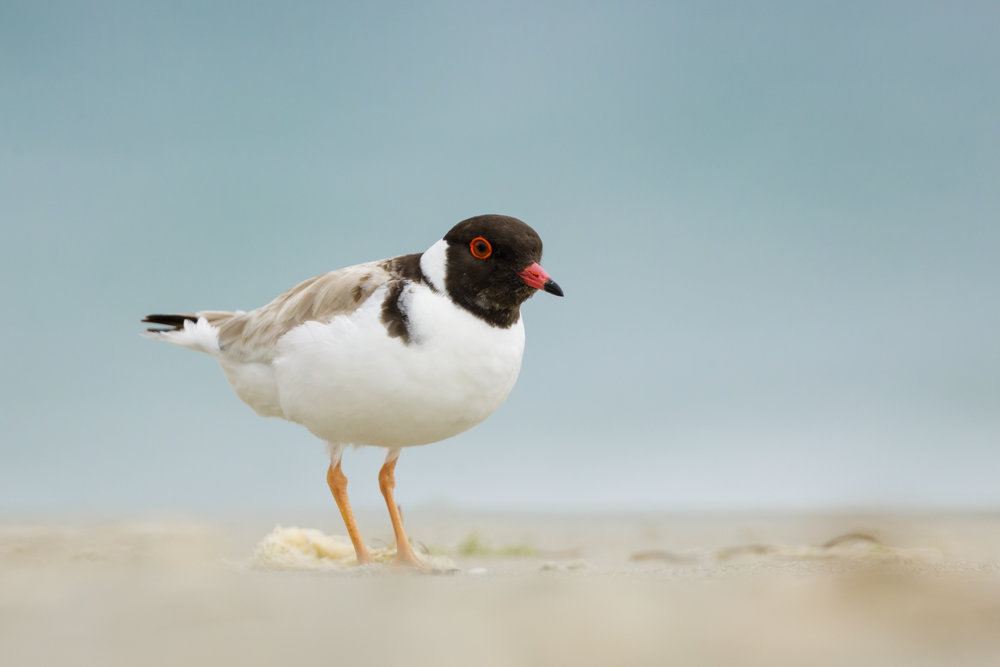 Hooded Plover_David Stowe-1467.jpg