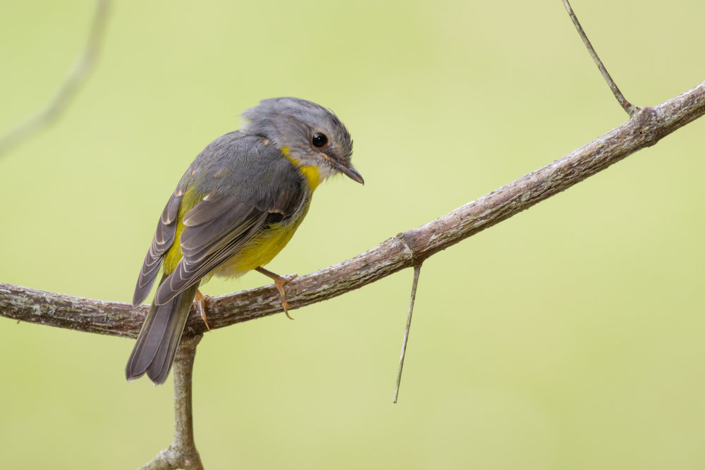 Eastern Yellow Robin_David Stowe-6289.jpg
