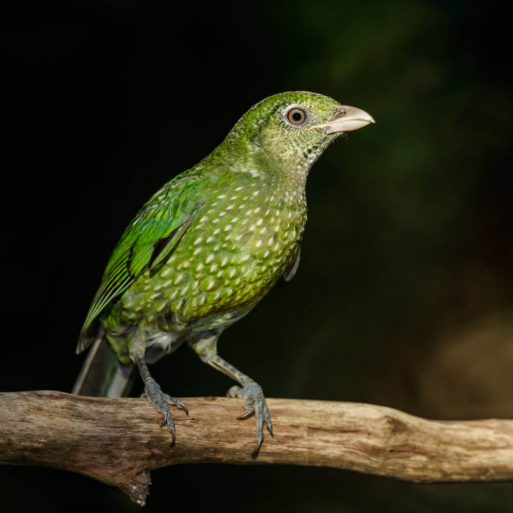 Green Catbird_David Stowe-1520.jpg